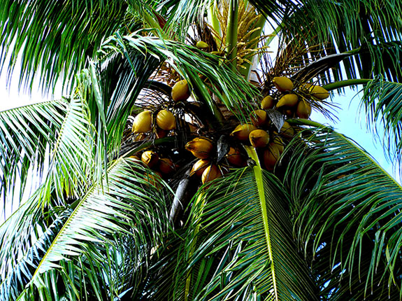 The coconut palm: A tree of life?